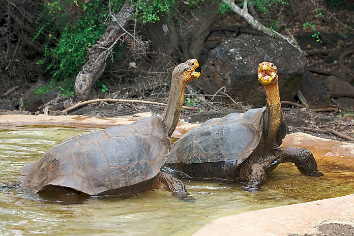 Giant Tortoise battle of the neck extensions