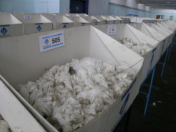 A Short History Of Merino Wool Scarlet Cloud